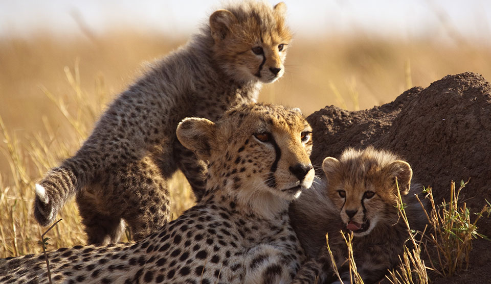 Family of felines, homepage of Escape to Africa Safari