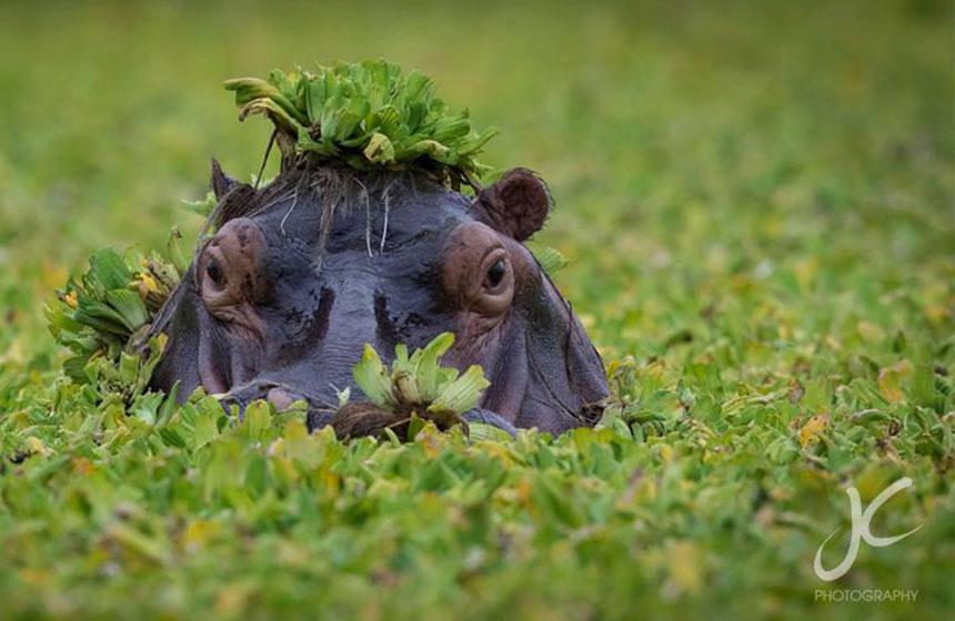 Hippopotamus head emerges from the swamp