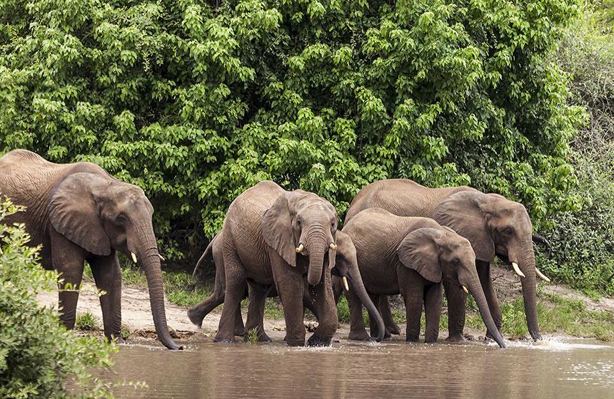 Elephants hydrating, Botswana safari