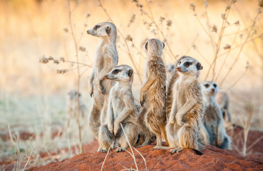 meerkats on the look