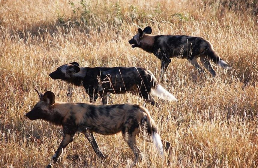 Painted Dogs on a walk