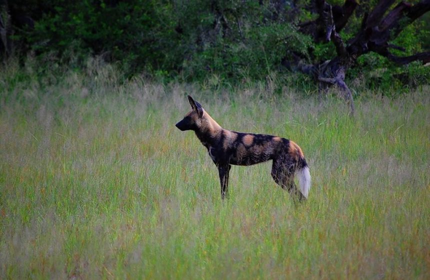 Painted dog, Escape to Africa Safaris