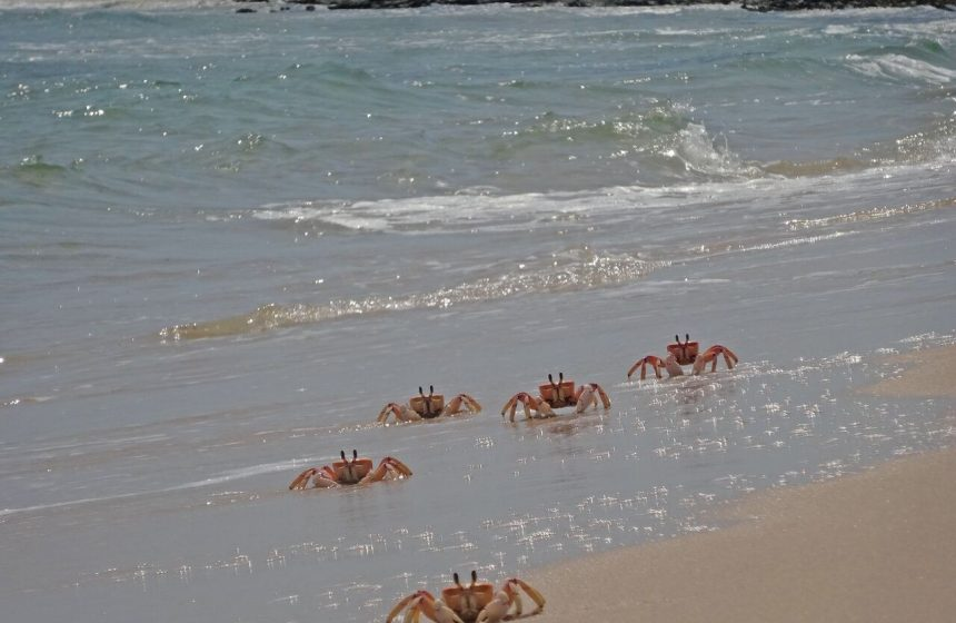 Pink crabs walking on the beach, Mozambique, Escape to Africa Safari