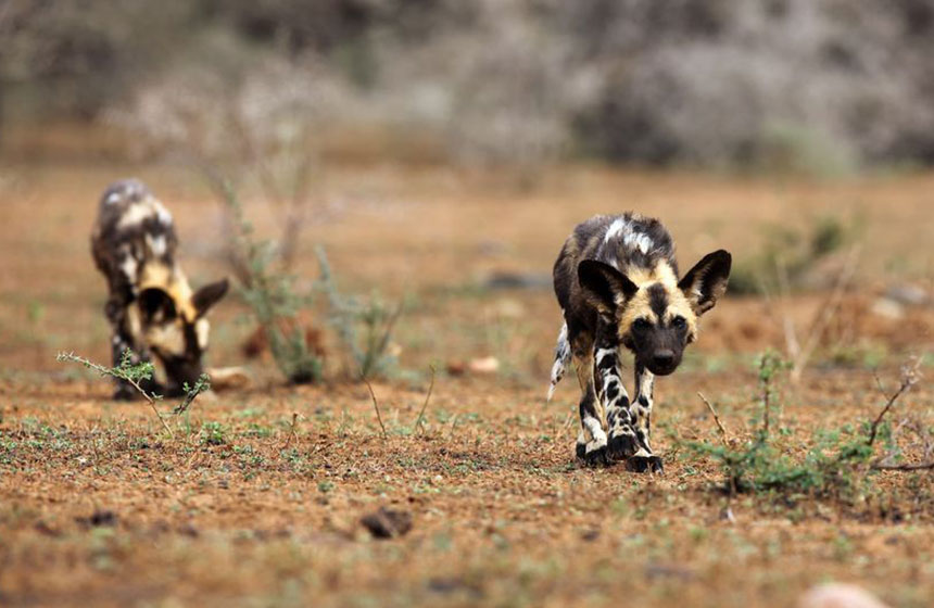 Painted dog approaches us timidly