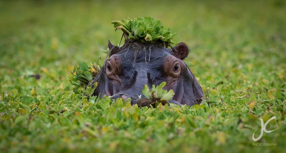 Hippo hiding in the swamp
